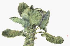 Asuka Hishiki Brussels sprout 14 1/2 x 20 1/2  watercolor on paper