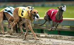 What are your best tips for betting the #greyhounds? Comment to share!