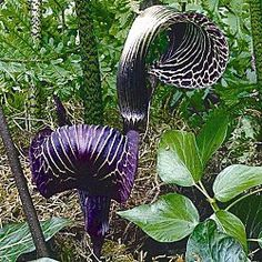 Love this!! Love, love, love this!! I have a large shaded area in my garden and am always looking for interesting plants to mix in with my hostas. I've had little to no luck with ferns. This Cobra Lily would definitely be an attention grabber!