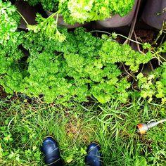 Top view on the parsley and cilantro station! #verticalfarming #urbanfarming #organicfarming #food #agriculture #urbangardenersrep #growsomethinggreen #epicgardening #urbanorganicgardener #gardeningtips #eats #gardening #summer #healthy #plantbased #followme #instagram #flowers by ingeniusfarms