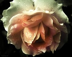A rose with raindrops on it