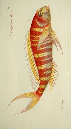 J.F. Hennig, illustration of fishes for ichthyology atlas, 18th century. Marcus Elieser Bloch, Systema ichthyologiae iconibus illustratum, Saxony. Via Biodiversity Heritage Library