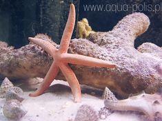 Linckia guildingii Sea Starfish Starfish, Octopus, Sea, Animals, Animaux, Ocean, Animal, Calamari, Animales