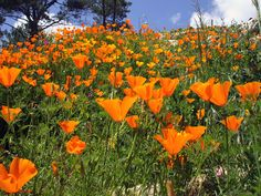 Campo de Papoilas-gold poppies in Portugal Highlands