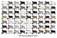 Shetland Sheep - spot the Moorit one