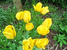Yellow tulips.