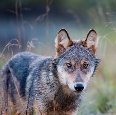 Despite a long-running wolf cull in the province of B., ungulate populations continue to diminish or flourish based on the merits of… Animals And Pets, Cute Animals, Wild Animals, Wolf Face, Wild Dogs, The Province, Running Wolf, Tamaskan, Wildlife