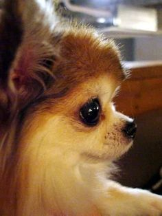 Effective Potty Training Chihuahua Consistency Is Key Ideas. Brilliant Potty Training Chihuahua Consistency Is Key Ideas. Long Haired Chihuahua, Chihuahua Puppies, Cute Puppies, Cute Dogs, Pomeranian Puppy, Cute Baby Animals, Animals And Pets, Animal Gato, Little Dogs