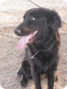 Portland, OR - Flat-Coated Retriever Mix. Meet Jasper, a dog for adoption. http://www.adoptapet.com/pet/11490351-portland-oregon-flat-coated-retriever-mix
