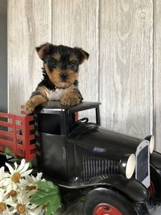 The Popular Pet and Lap Dog: Yorkshire Terrier - Champion Dogs Yorshire Terrier, Pitbull Terrier, Boston Terrier, I Love Dogs, Cute Dogs, Top Dog Breeds, Yorkshire Terrier Puppies, Lap Dogs, Mundo Animal