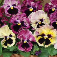 Pansy Frizzle Sizzle Passion Fruit (5 plants)