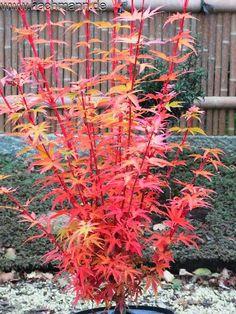 Acer palmatum 'Herhaim' (Aceraceae / Ahorn)