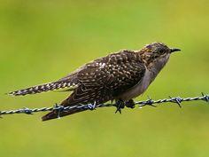 Pallid Cuckoo (Cacomantis pallidus  aka  Cuculus pallidus) by David Cook