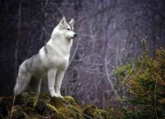 White wolf.... Beautiful wildlife nature image, photography, animal picture.