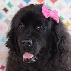 Big and beautiful = Lola. This gorgeous lady is rocking one of our hair bow ties and is looking FIERCE *snaps*!