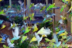 Budgies take flight!