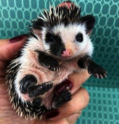 15 Amazing Facts About Hedgehogs – Cute Animals Super Cute Animals, Cute Little Animals, Cute Funny Animals, Cute Dogs, Cute Babies, Cool Pets, Baby Animals Pictures, Cute Animal Pictures, Animals And Pets