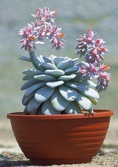 indoor house plants for sale Succulent Pots, Cacti And Succulents, Planting Succulents, Cactus Plants, Planting Flowers, Cactus Care, Cactus Flower, Flower Bookey, Flower Pots