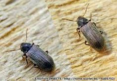 very rarely ever seen in the uk the house longhorn woodworm beetle is generally seen in europe. Black Bedroom Furniture Sets. Home Design Ideas