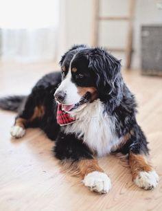 Bernese Mountain Dog, so pretty