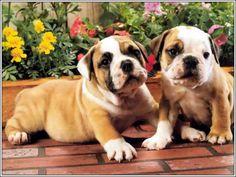 4 Dog Puppy English Bulldog puppies Pals Greeting Notecards/ Envelopes Set