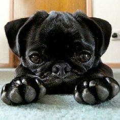 Buy & Sell PUG puppies online  https://www.dogspuppiesforsale.com/pug