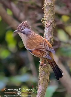 The Hoary Throated Barwing (Actinodura nipalensis) is a species of bird in the Leiothrichidae family. It is found in along the northern parts of the Indian Subcontinent, primarily in the Eastern Himalayas, and ranges across Bhutan, India, Tibet, and Nepal. Its natural habitats are temperate forests and subtropical or tropical moist montane forests.