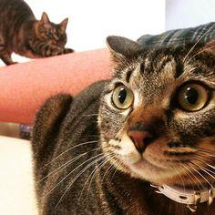 🙀こはる〜!! うしろ‼︎ うしろ‼︎🙀 🐾 #猫 #ねこ #ネコ #キジトラ #チッチ #こはる