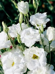Lisianthus lisianthus is one of the best cut flowers -- it will last in the vase for 2 to 3 weeks. Lisianthus can be challenging to grow. Plant them in rich, well-drained soil in full sun Types Of Flowers, Colorful Flowers, Beautiful Flowers, Elegant Flowers, White Flowers, Lantana Plant, Lisianthus Flowers, Edible Plants, White Gardens