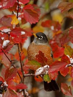 Robin amoung fall leaves | originally pinned by Shirlee Vaughn | www.aaa.com/travel