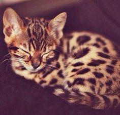 Luipaard kitten