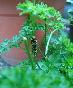 Attract Swallowtail butterflies to your yard by planting dill and parsley. They are host plants for their caterpillars.