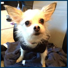 http://www.petfinder.com/petdetail/28887061/ http://www.dachshundrescueteam.org/ Lucy is a sweet and very silly little 5 lb yorkie x chihuahua . She has the cutest little waddle in her walk and just loves affection and food! She came from a animal hoarding situation where she along with 70 other dogs were confined in a very cramped area. As if that wasn't bad enough, this poor little gal was also attacked by a larger dog and had to get her tail amputated y  .