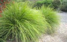 Tanika® Lomandra is a drought tolerant landscape plant - Modern Backyard Pool Landscaping, Backyard Plants, Landscaping Plants, Patio, Landscaping Ideas, Backyard Ideas, Garden Plants, Garden Ideas, Drought Tolerant Grass