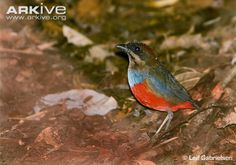 Whiskered pitta on ground: endemic to Luzon in the Philippines