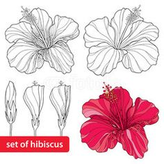 Illustration about Set of Chinese Hibiscus or Hibiscus rosa-sinensis on white background. Flower symbol of Hawaii. Illustration of chinese, detailed, decorative - 64245380 Hibiscus Bouquet, Hibiscus Flowers, Tropical Flowers, Hibiscus Flower Drawing, Watercolor Flowers, Flower Art, Illustration Botanique, Botanical Illustration, Doodle Drawing