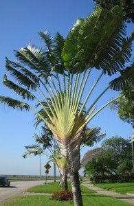 Travellers Palm / fast growers with lovely tropical leaves / the wind does cause them to fray but, they're still wonderful / they grow in the shape of a fan