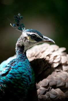 peacock, by Bryan Toh, national geographic