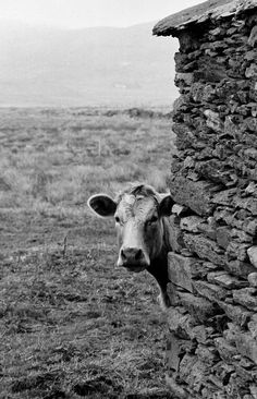Have you ever seen a curious cow? Well Cork-based photographer Giles Norman has, and he captured it for everyone to enjoy! Click the photo to learn more about Giles and this high-quality print. Sight & Sound, Country Life, Great Photos, Black And White Photography, Farm Animals, Norman, Over The Years, Ireland, House