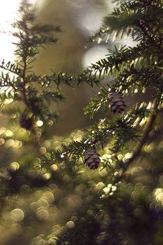 Pine Bokeh by Spademm.deviantart.com on @deviantART