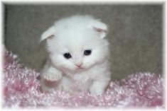 Scottish Fold Cats | Scottish Fold Cat Breed Info & Pictures | petMD