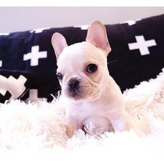 Leo, te French Bulldog Puppy, @frenchieleo instagram