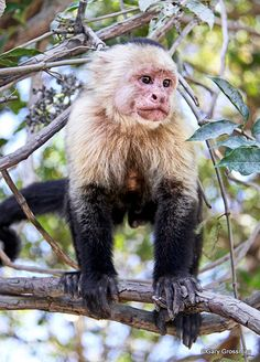 This White-Faced monkey observed at Palo Verde National Park in Costa Rica. These monkeys are native to Central and South America and are widely recognized as the most intelligent New World monkey. They are arboreal creatures and seldom descend to the forest floor.