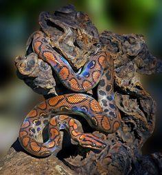 Epicrates cenchria cenchria - Brazilian Rainbow Boa #snakes #reptiles #topanimals