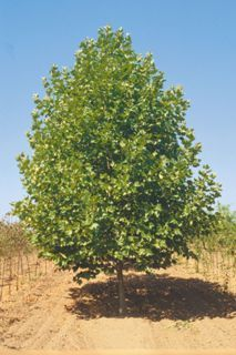 Sester Farms Bloodgood London Planetree Latin Name: Platanus acerifolia 'Bloodgood' Wholesale Tree Nursery