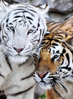 They are the most common tiger and number about half of all wild tigers. Nature Animals, Animals And Pets, Cute Animals, Wildlife Nature, Wild Animals, Beautiful Cats, Animals Beautiful, Panthera Tigris Tigris, White Bengal Tiger
