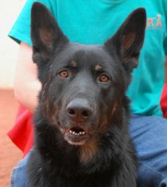 Nevada SPCA NO-KILL Animal Sanctuary: Sergeant is full of wisdom and love. German Shepherd knowledge is needed for his adoption. He likes to be a big brother figure with other dogs, so he may not do well with other large dogs with 'alpha' personalities