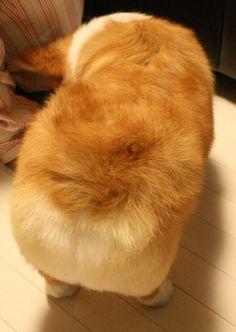 Fluffy Corgi Butt :))) #corgi, #corgibutt