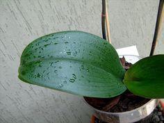 Informazioni e consigli utili su come coltivare un'orchidea Phalaenopsis nel modo corretto.