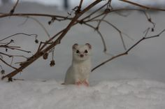 The mink in the snow isn't cold because it wears a mink coat!